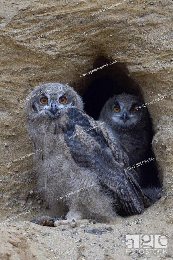 Stock Photo: Eurasian Eagle Owls / Europaeische Uhus ( Bubo bubo ), two chicks, standing together in the entrance of their nesting site, wildlife, Europe.