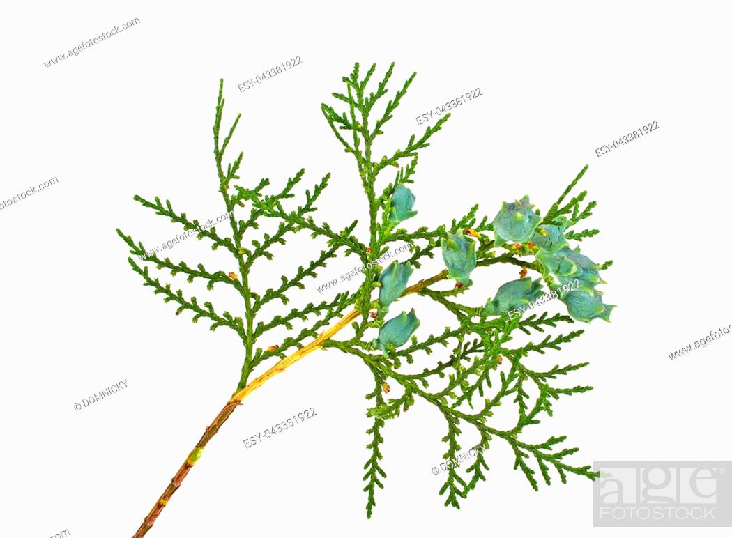 Stock Photo: Twig of thuja with green cones isolated on white background.