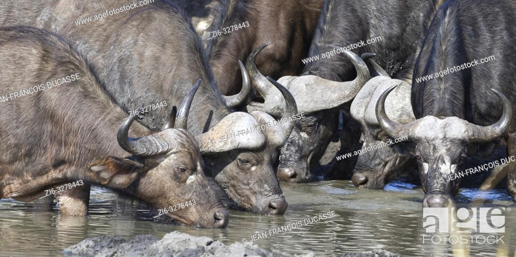 Stock Photo: African buffaloes (Syncerus caffer), adults, males and females, in muddy water, drinking at a waterhole, Kruger National Park, South Africa, Africa.
