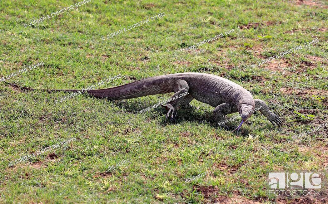 Photo de stock: Bengal monitor or common Indian monitor (Varanus bengalensis), adult, foraging, flickering tongue, Udawalawe National Park, Sri Lanka.