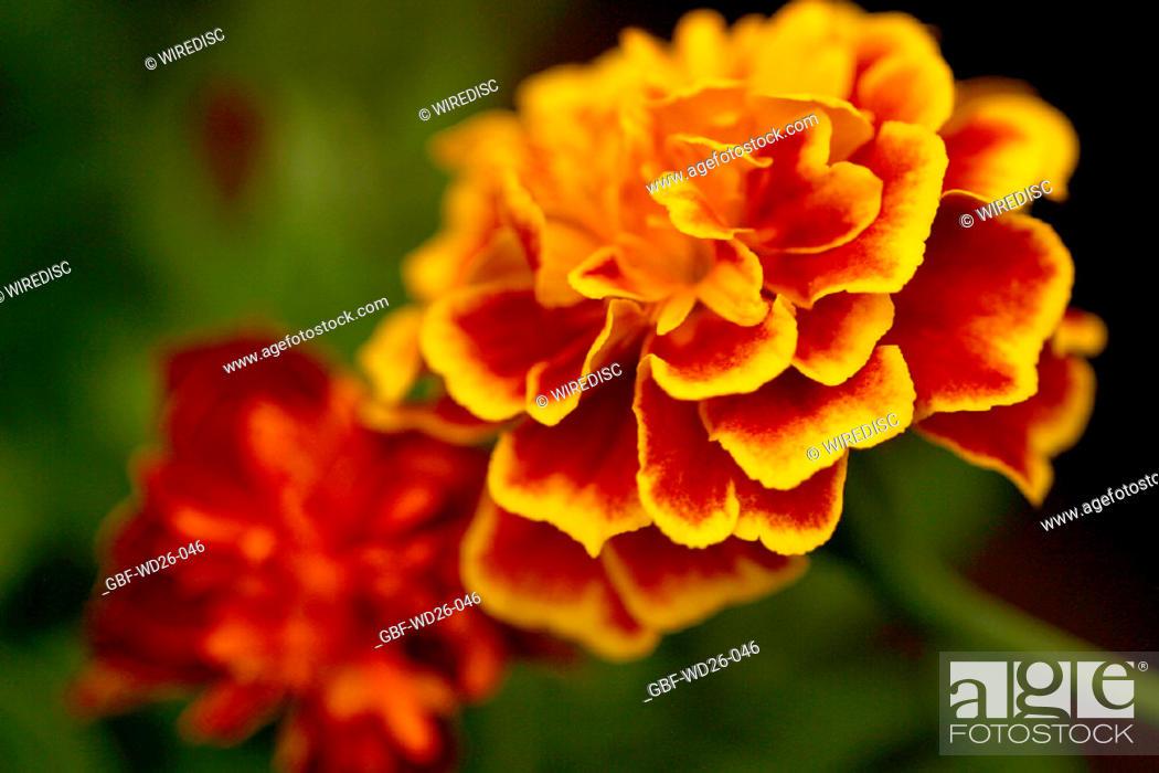 Stock Photo: Flowers, clove, garden.