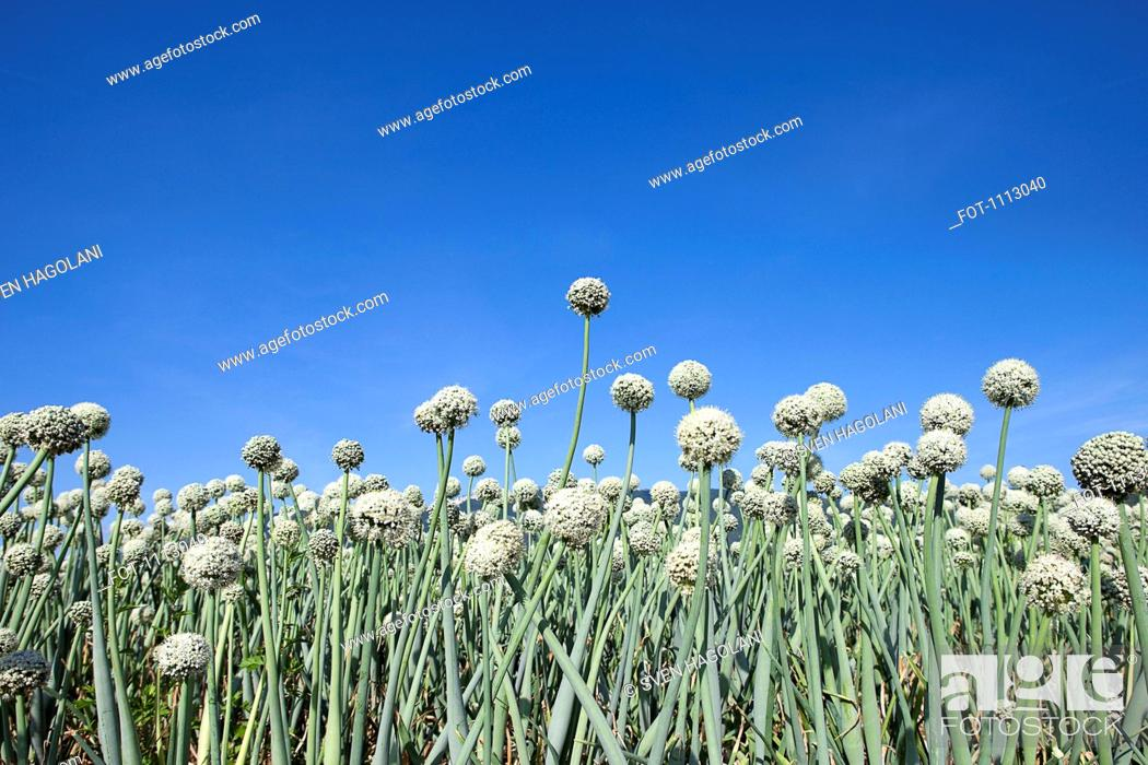 Stock Photo: Field of garlic, low angle view, close-up.