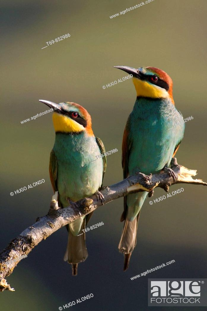 Stock Photo: Couple of Bee-eater (Merops apiaster).