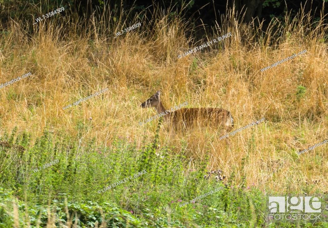 Stock Photo: Fallow deer (Dama dama) on a nature reserve in the Herefordshire UK countryside, August 2020.
