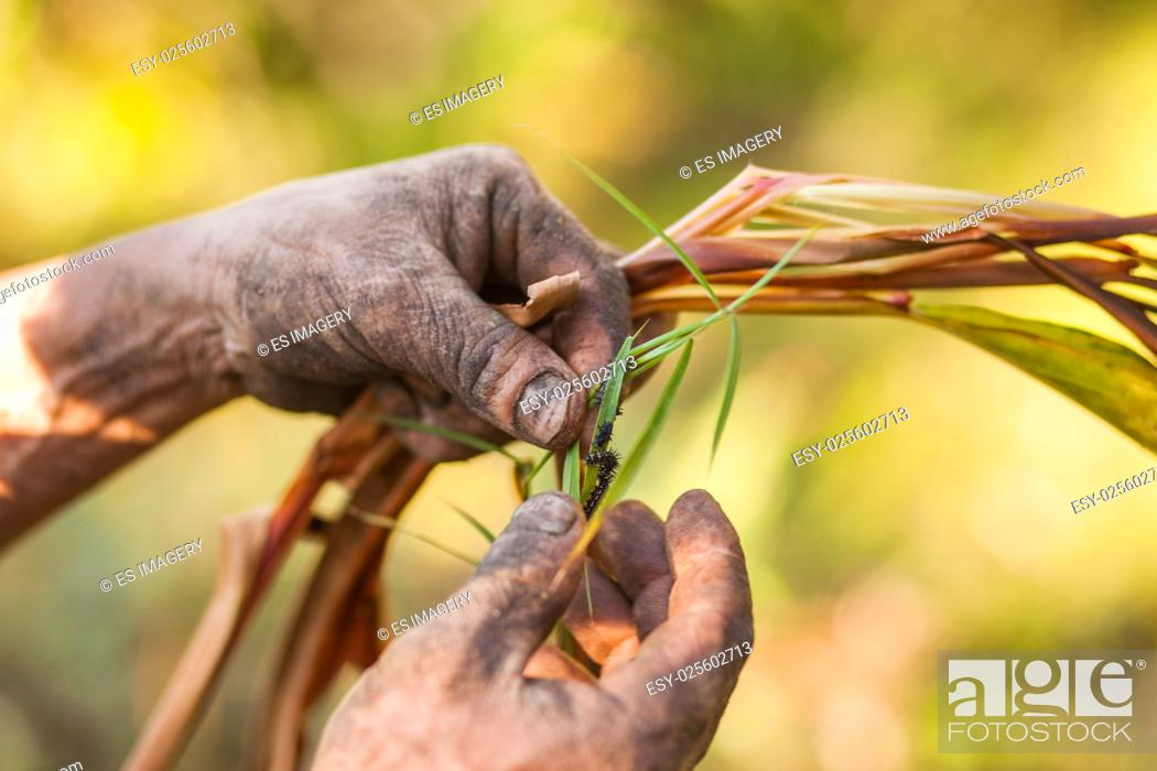 Stock Photo: Nepali farmer examing a black cardamom (Amomum subulatum) plant.