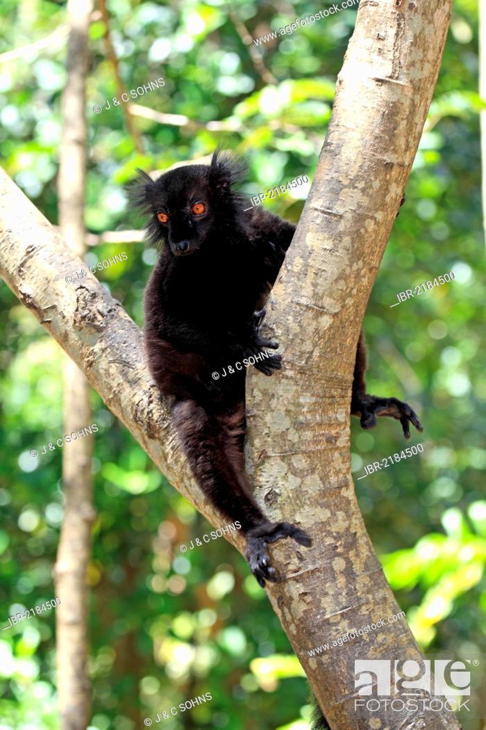 Imagen: Black Lemur (Eulemur macaco), male adult in a tree, Nosy Komba, Madagascar, Africa.