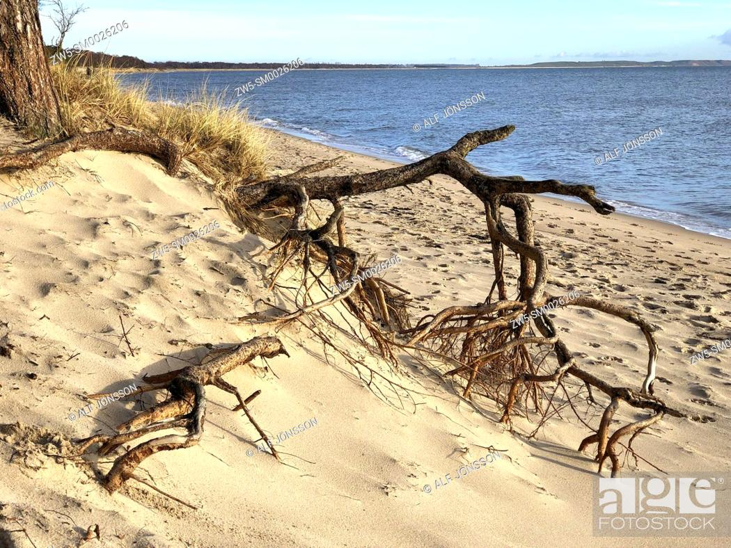 Imagen: Aerial roots on the beach in Ystad, Sweden, Scandinavia.