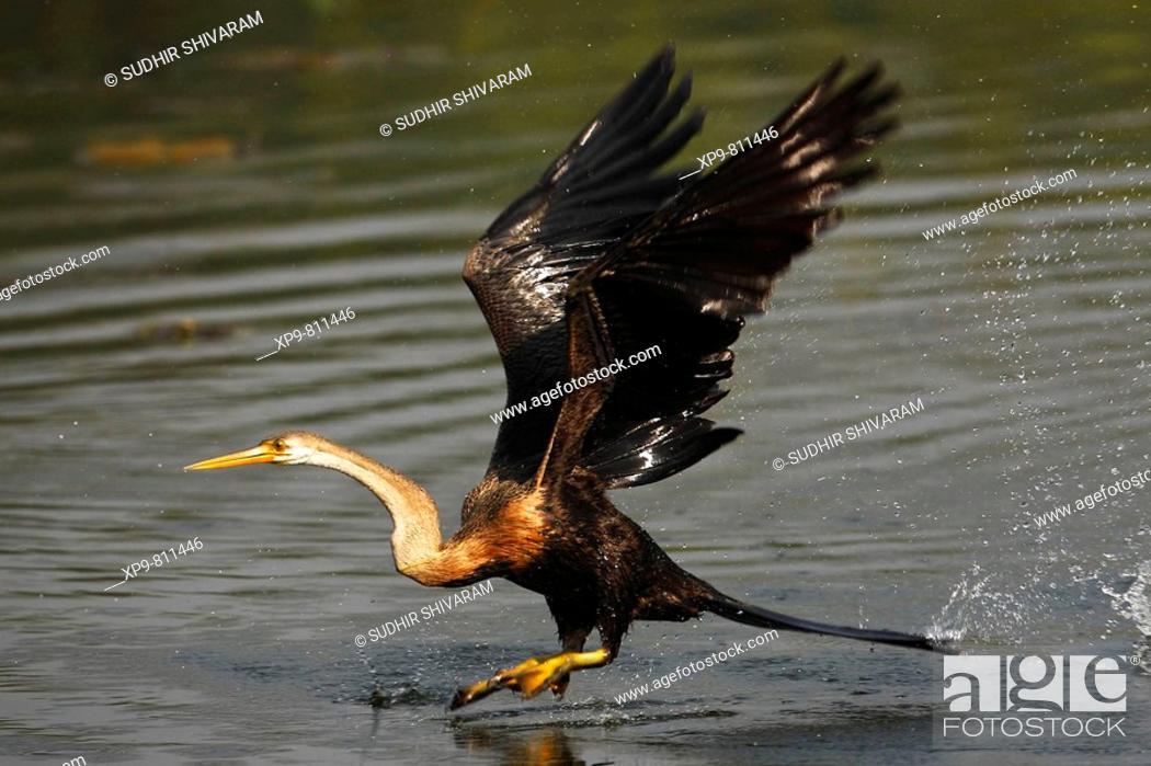 Stock Photo: Darter or Snake Bird. Keoladeo Ghana National Park, Rajasthan, India.