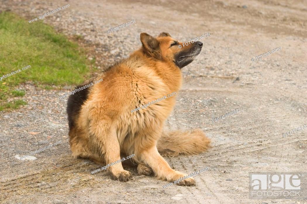 Stock Photo: dog, species, watching, looking, alert, resting.
