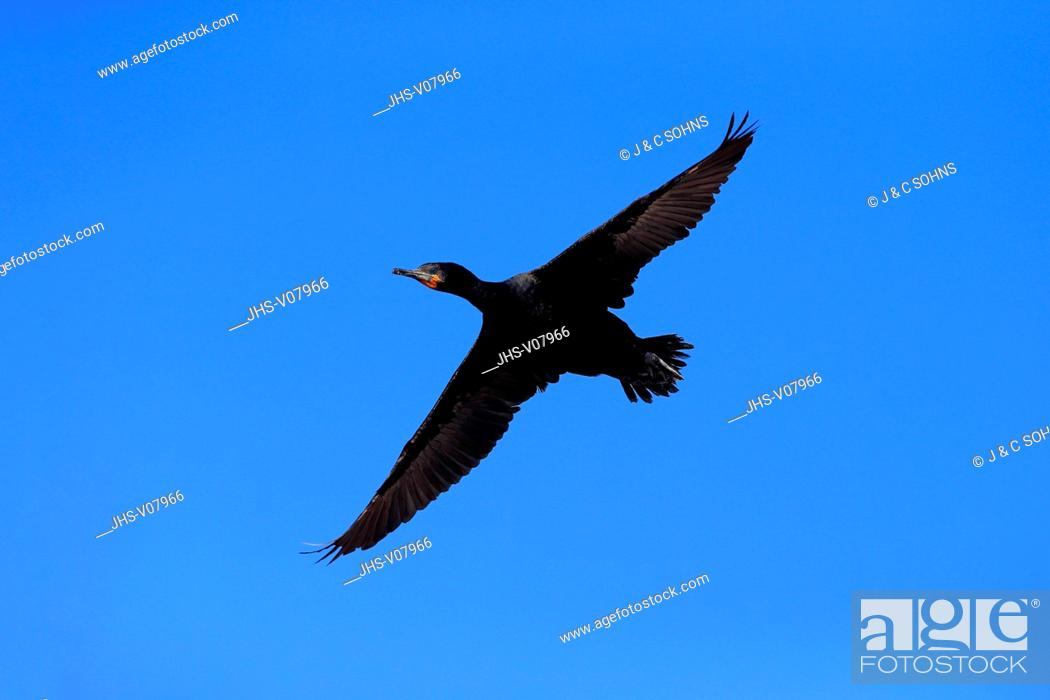 Stock Photo: Cape Cormorant, Cape shag, (Phalacrocorax capensis), adult flying, Betty's Bay, Western Cape, South Africa, Africa.