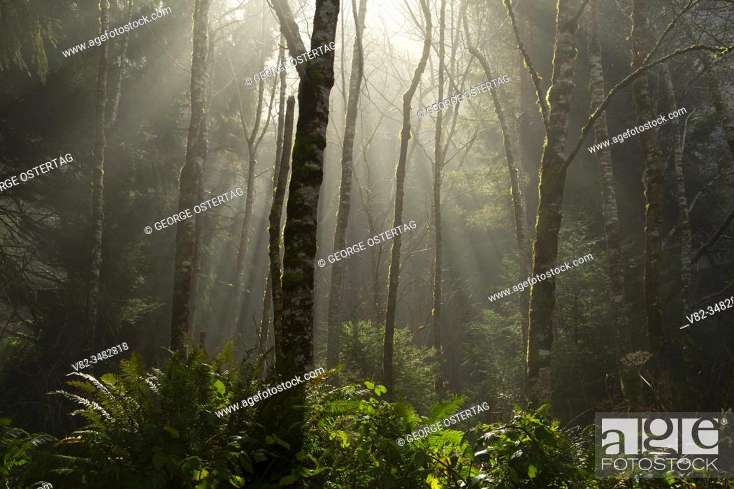 Stock Photo: Forest fog on St. Perpetua Trail, Cape Perpetua Scenic Area, Siuslaw National Forest, Oregon.