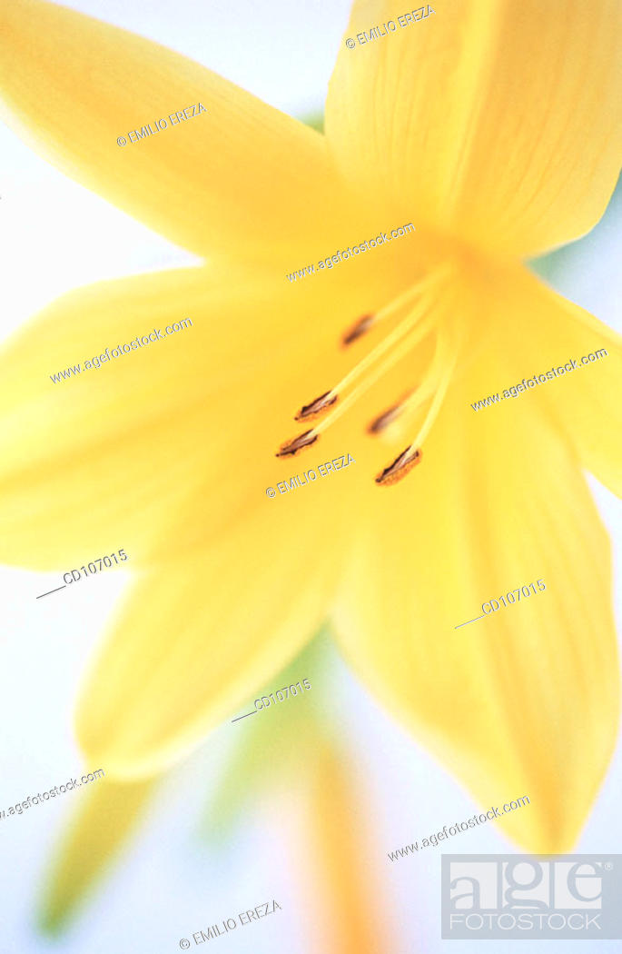 Stock Photo: Day-lily (Hemerocallis hybr.).