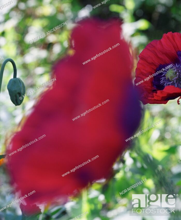 Stock Photo: Red poppies.