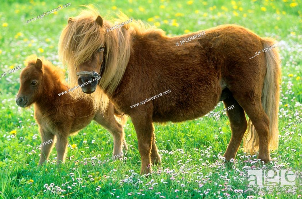 Stock Photo: Shetlandpony - mare with foal on meadow.