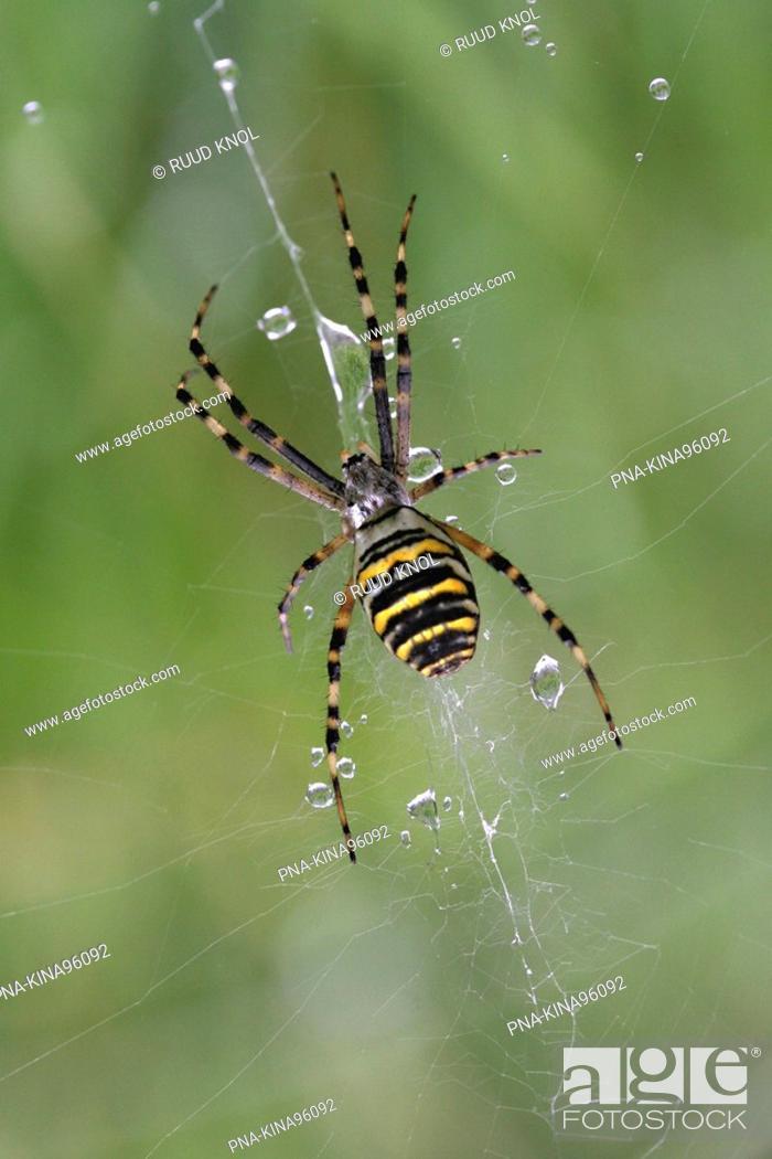 Stock Photo: wasp spider Argiope bruennichi - Beekbergerwoud, Apeldoorn, Veluwe, Guelders, The Netherlands, Holland, Europe.