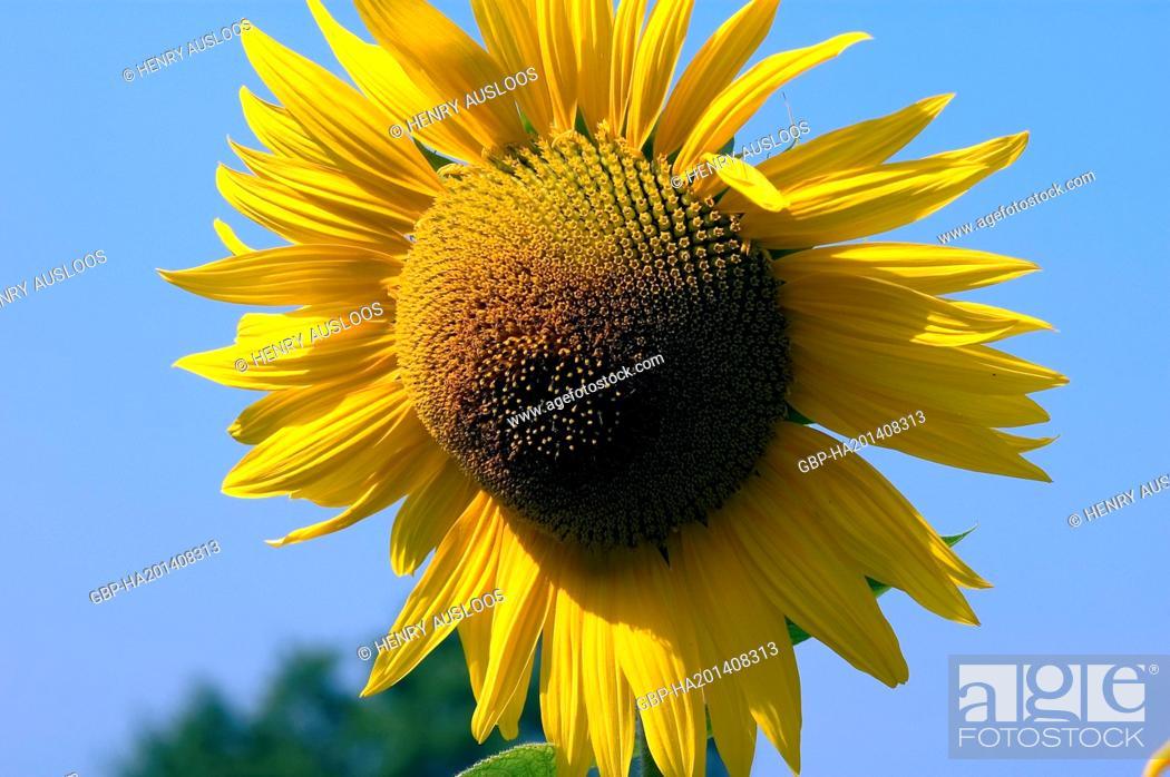 Stock Photo: France, Sunflower, Helianthus annuus.