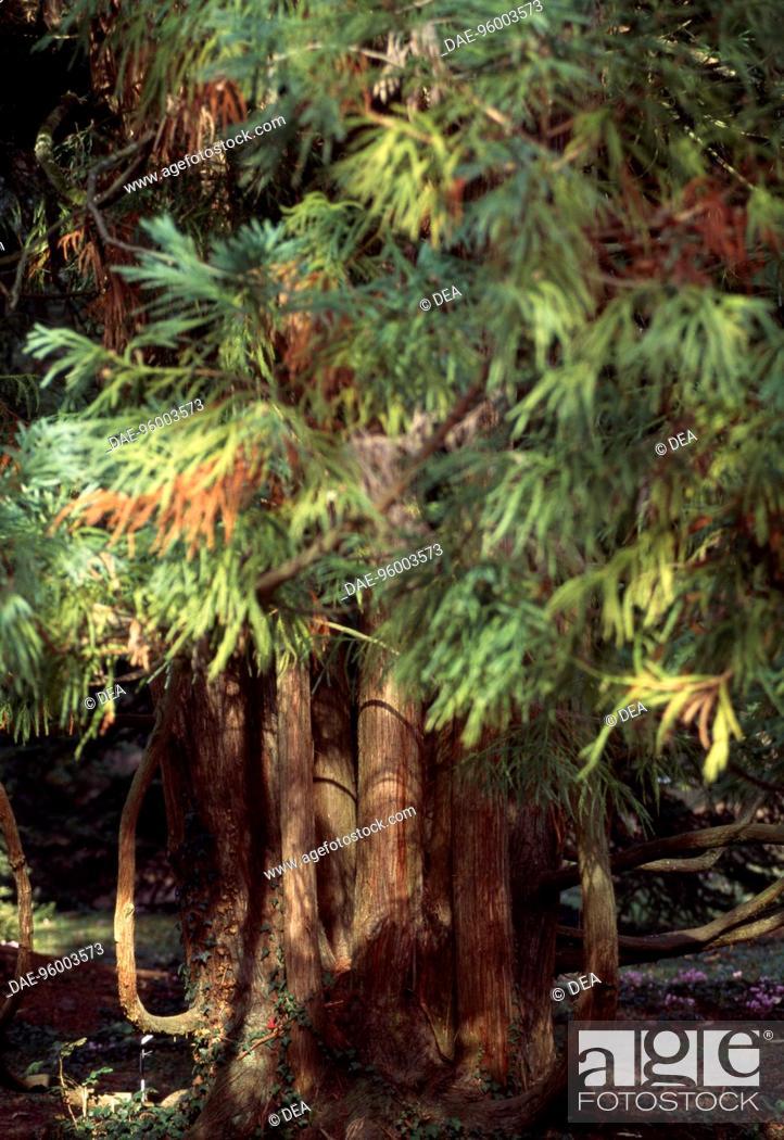 Stock Photo: Cryptomeria (Cryptomeria japonica Globosa), Cupressaceae-Taxodiaceae. Detail.