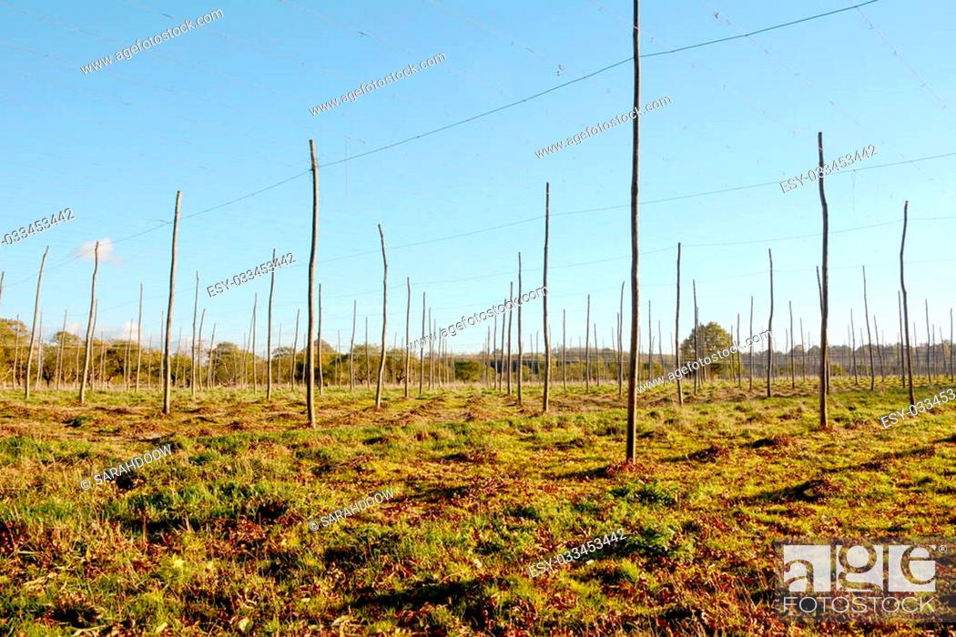 Kent hop wire Stock Photos and Images | age fotostock