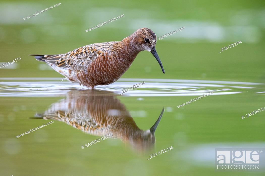 Stock Photo: Curlew Sandpiper (Calidris ferruginea), side view of an adult moulting to breeding plumage, Campania, Italy.