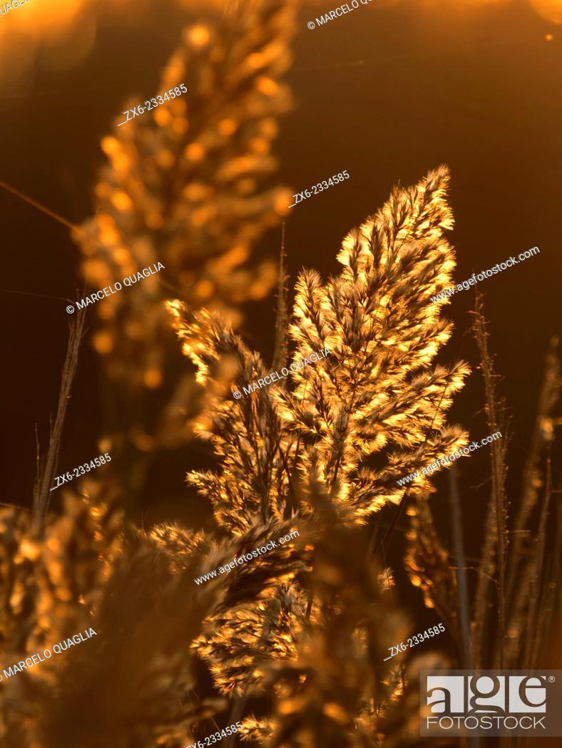Stock Photo: Backlit Common reeds (Phragmites australis) at Encanyissada Lagoon. Ebro River Delta Natural Park, Tarragona province, Catalonia, Spain.