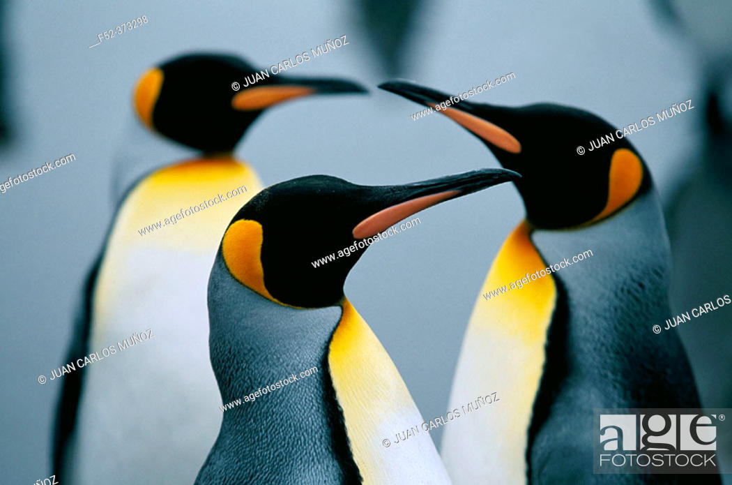 Stock Photo: King Penguins (Aptenodytes patagonica). Island of South Georgia.