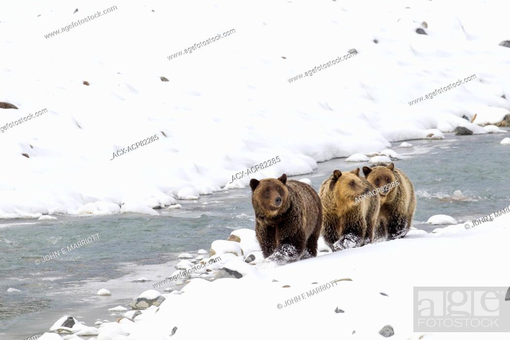 Stock Photo: Grizzly bear mother and cubs in a late snowfall near the Columbia Icefields, Jasper National Park, Alberta, Canada.