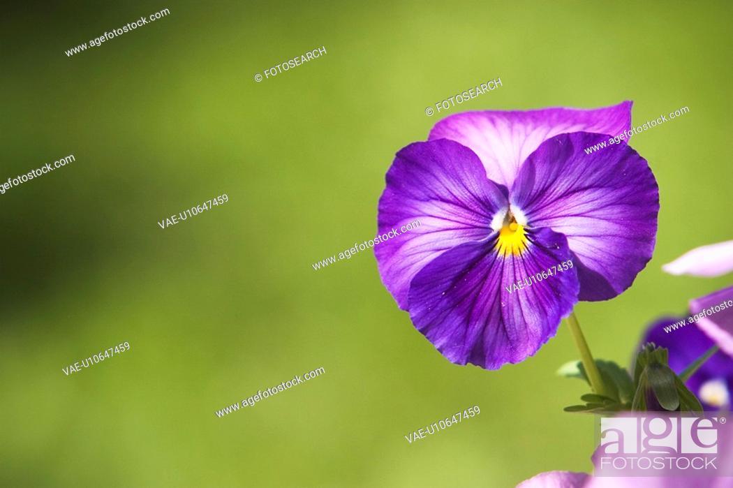 Stock Photo: Petal, Flower.