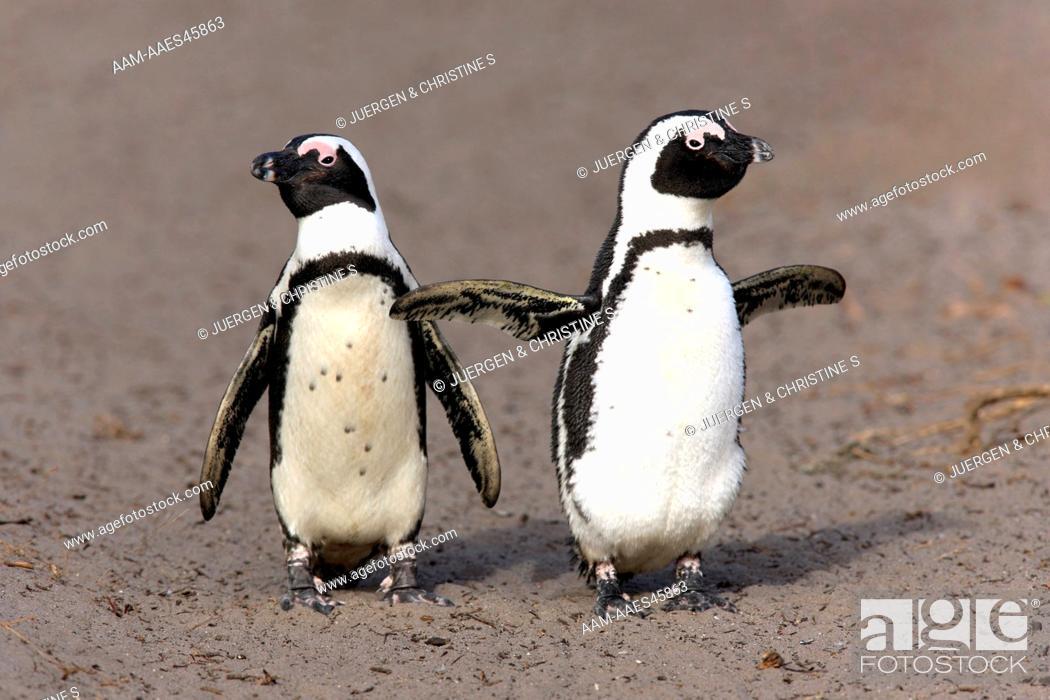 Imagen: Jackass Penguin, Spheniscus demersus, Betty's Bay, South Africa, adult couple walking on beach.