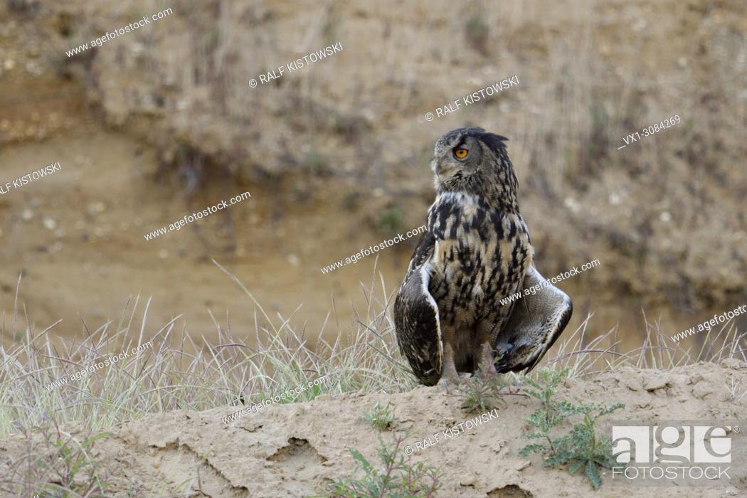 Stock Photo: Eagle Owl ( Bubo bubo ), adult, stands on top of a little hill, in summer, sweatening, opening its wings, typical pose, wildlife, Europe.