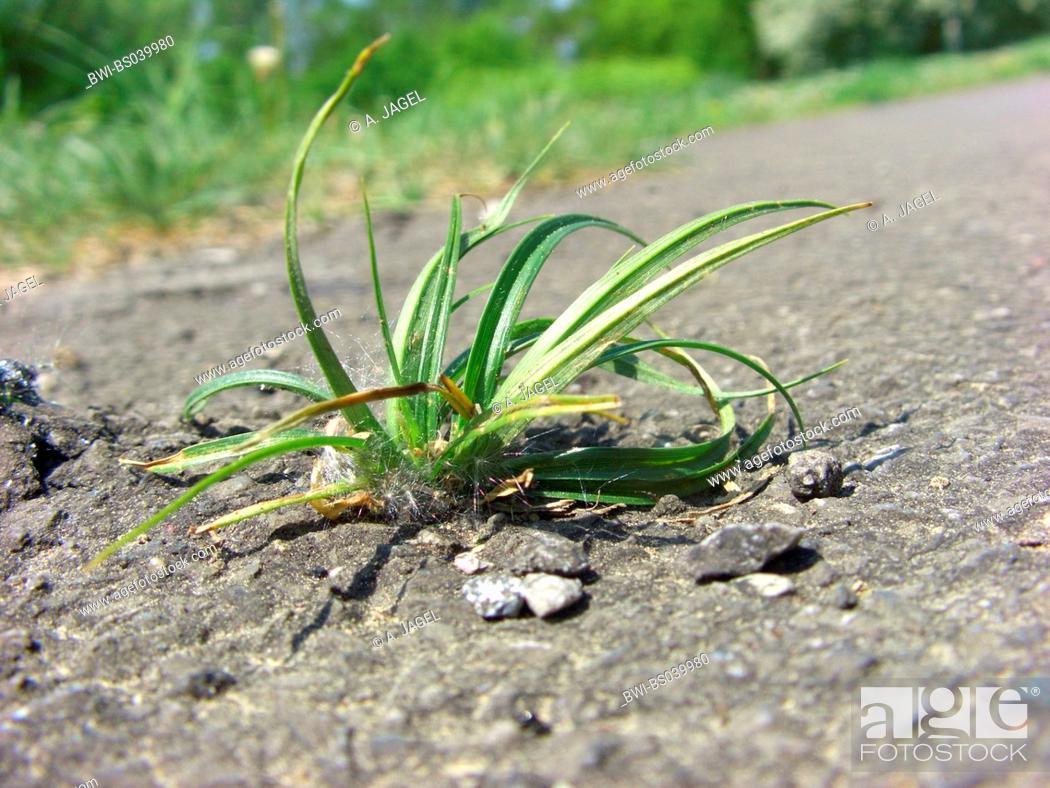 Stock Photo: hairy sedge (Carex hirta), growing in asphalt, Germany, North Rhine-Westphalia.