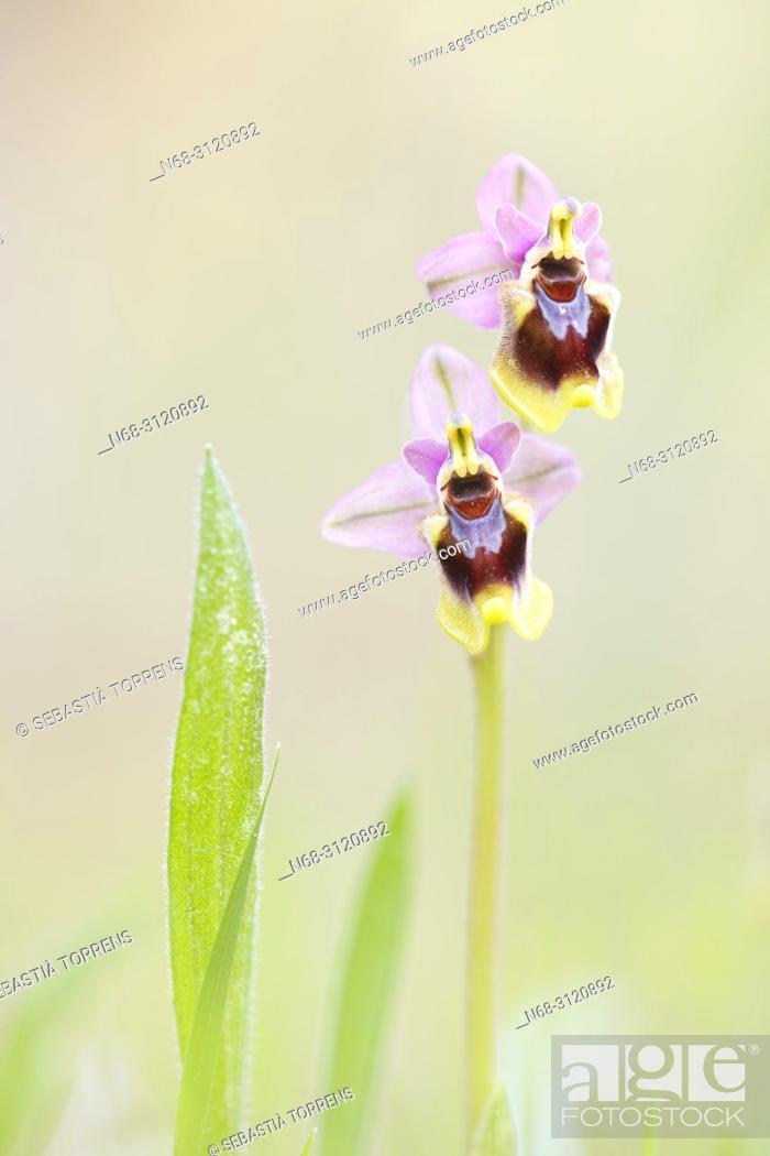 Stock Photo: Sawfly orchids (Ophrys tenthredinifera), Alcudia, Majorca, Balearic Islands, Spain.
