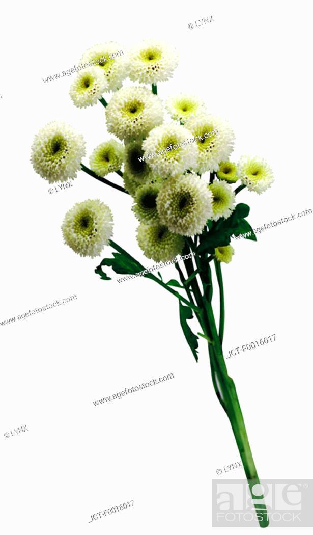 Stock Photo: Chrysanthemum.
