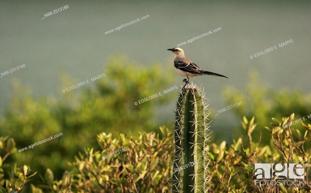Stock Photo: Lonely mockingbird, Laguna de Unare, Venezuela.
