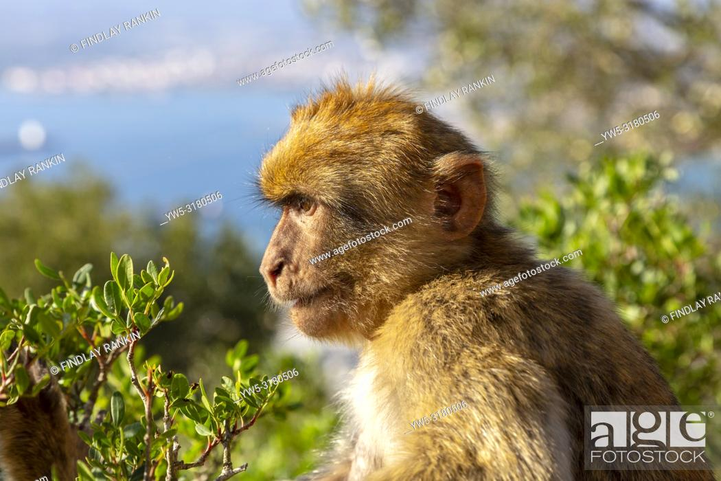 Stock Photo: Adult male macaque monkey sitting on rocks of Signals Hill, part of the Rock of Gibraltar, British Overseas Territory, Gibraltar.
