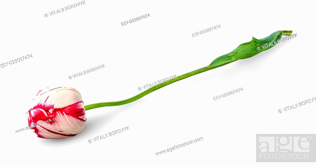Stock Photo: Dual colored red-white tulip isolated on white background.