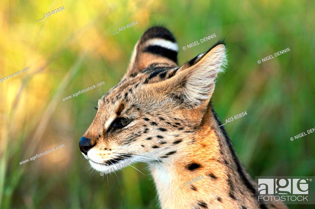 Stock Photo: Serval (Felis serval). Kapama game reserve, South Africa.