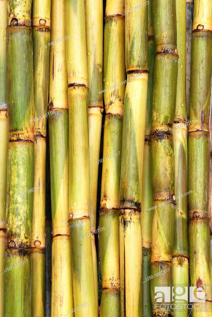 Stock Photo: Sugar cane stems  2012.
