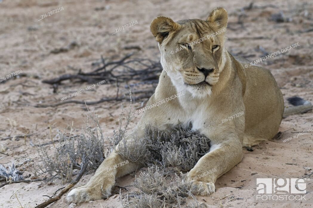 Stock Photo: African lion (Panthera leo), lioness lying on sand at dusk, Kgalagadi Transfrontier Park, Northern Cape, South Africa, Africa.