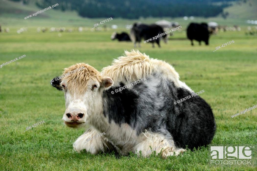 Stock Photo: Black White yak (Bos mutus), Orkhon Valley, Khangai Nuruu National Park, Övörkhangai Aimag, Mongolia.