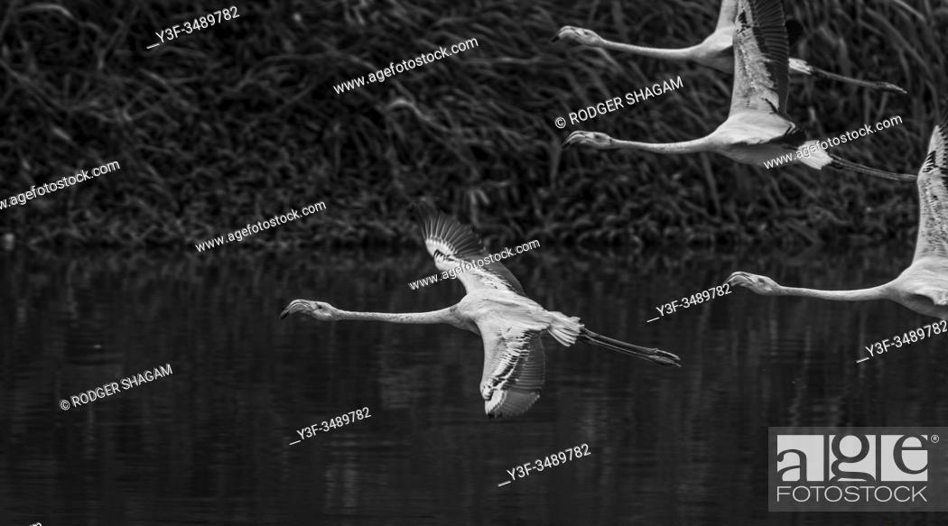Stock Photo: Greayter flamingo. In-flaight over the water.