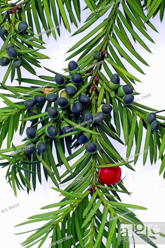common yew english yew european yew taxus baccata branch of a