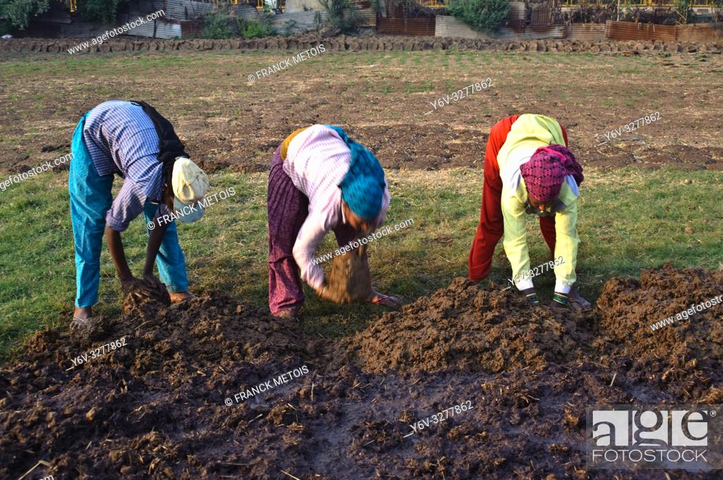 "Imagen: Three women are making cow dungs out of a large pile of cow manure. These cow dungs are intended for sales. These women are working for a """"gaushala"""" ( a cow."