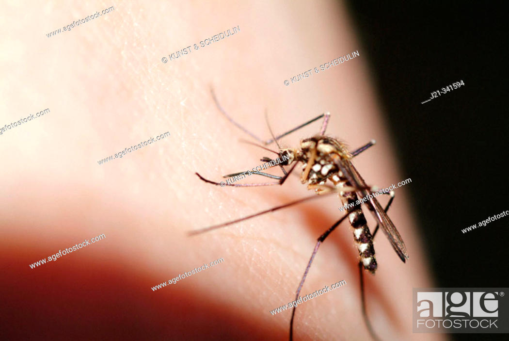 Stock Photo: Gnat Ochlerotatus geniculatus (old name: Aedes  geniculatus) drinking blood from a human hand. Bavarian Forest National Park. Bavaria.