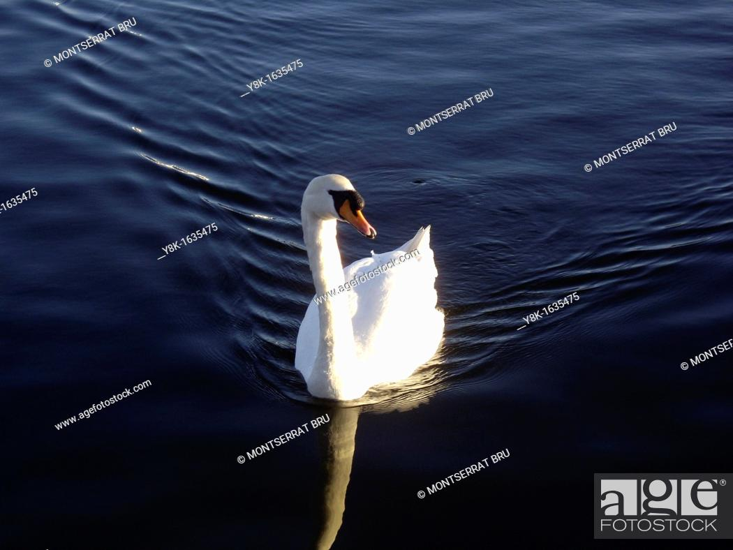 Stock Photo: Mute swan swimming on rippled water in Southport, UK.