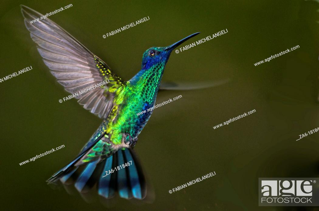 Stock Photo: Sparkling violetear hummingbird Colibri coruscans flying in the rain forest of northern Venezuela.