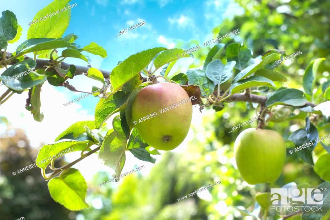 Stock Photo: A bright ripe and juicy apple hangs off an apple tree in the blue sky, close-up spring concept colorful.