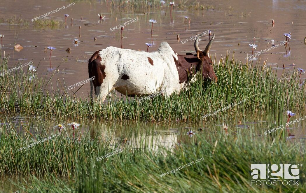 Stock Photo: Zebu in the water - The working horse from Madagascar.