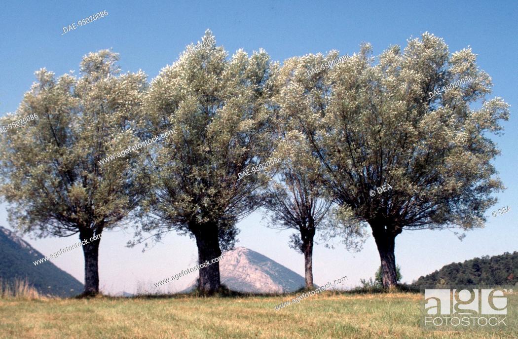 Stock Photo: White Willow specimens (Salix alba), Salicaceae.