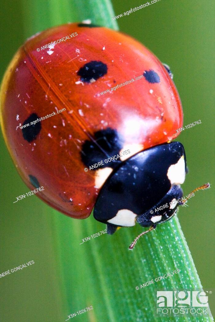 Stock Photo: Coccinella septempunctata, Portugal.