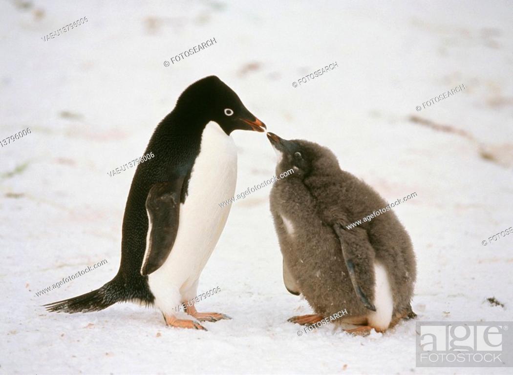 Stock Photo: Penguin.